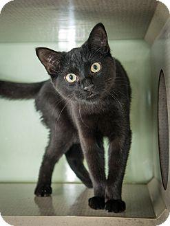 Domestic Shorthair Kitten for adoption in New York, New York - Arthur