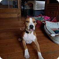 Pit Bull Terrier Mix Puppy for adoption in Chicago, Illinois - Sabrina
