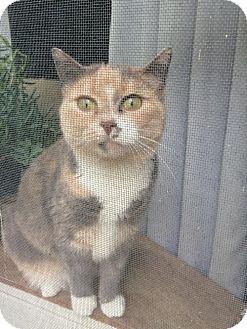 Domestic Shorthair Cat for adoption in Marlborough, Massachusetts - Kiki Lee