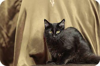Domestic Shorthair Cat for adoption in Tehachapi, California - Cisco