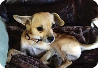 Chihuahua Mix Dog for adoption in Spring Valley, New York - OSCAR