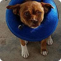 Adopt A Pet :: Caramel - Fullerton, CA