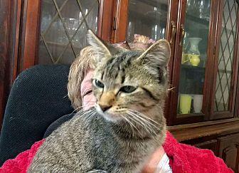 American Shorthair Cat for adoption in Texarkana, Arkansas - Junior