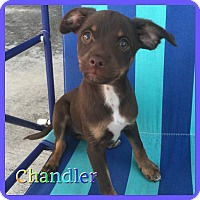 Adopt A Pet :: Chandler - Hollywood, FL