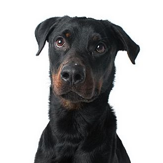 Rottweiler Mix Dog for adoption in Wilmington, Delaware - Plugs
