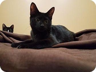 Domestic Shorthair Kitten for adoption in Akron, Ohio - Style