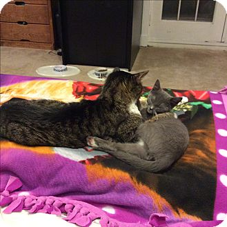 Domestic Shorthair Cat for adoption in Baltimore, Maryland - Ollie (COURTESY POST