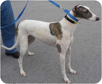 Greyhound Dog for adoption in Knoxville, Tennessee - Tailwaggin Today