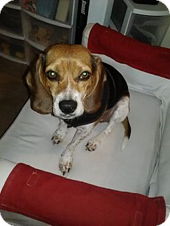 Beagle Dog for adoption in Indianapolis, Indiana - Ellee - Courtesy