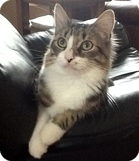 Maine Coon Cat for adoption in Troy, Michigan - Peter Piper