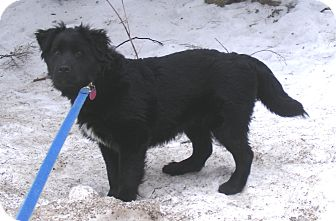 Bernese Mountain Dog/Labrador Retriever Mix Dog for adoption in Rigaud, Quebec - Colombo