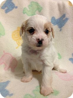 Maltese Mix Puppy for adoption in Bridgeton, Missouri - Whisky-Adoption pending