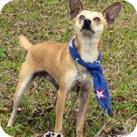 Chihuahua/Terrier (Unknown Type, Small) Mix Dog for adoption in San Leon, Texas - Scout