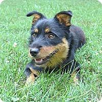 Adopt A Pet :: Anya - Mocksville, NC