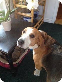 Beagle Mix Dog for adoption in Douglas, Ontario - Remington