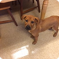 Adopt A Pet :: Sawyer - Fair Oaks Ranch, TX