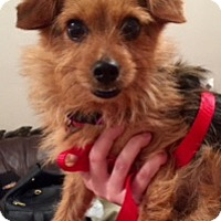 Adopt A Pet :: Norman - Garland, TX
