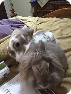 Lop-Eared Mix for adoption in Conshohocken, Pennsylvania - Sydney and Savannah