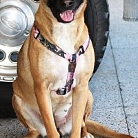 Belgian Malinois Mix Dog for adoption in Gilbert, Arizona - Chica