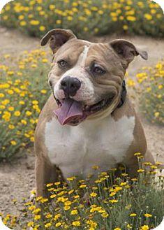 American Bulldog Mix Dog for adoption in Palm Springs, California - Canelo