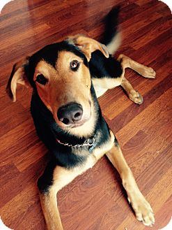 German Shepherd Dog/Doberman Pinscher Mix Dog for adoption in Tracy, California - Moose-ADOPTED!