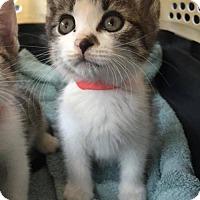 Adopt A Pet :: Marshmallow - Woodbury, NJ