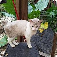 American Bobtail Cat for adoption in Spring, Texas - Bob