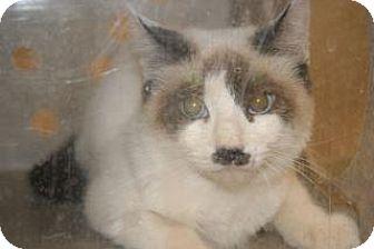 Domestic Shorthair Kitten for adoption in Wildomar, California - 317529