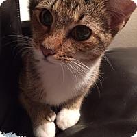 Polydactyl/Hemingway Cat for adoption in Orlando, Florida - Coraline