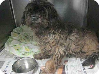 Shih Tzu Mix Dog for adoption in San Antonio, Texas - A409904
