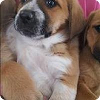 Adopt A Pet :: Honey Ham - Paris, KY