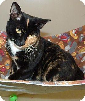 Calico Cat for adoption in Zanesville, Ohio - 48320 Turquoise
