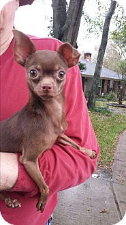 Chihuahua Mix Dog for adoption in Houston, Texas - Buster Brown