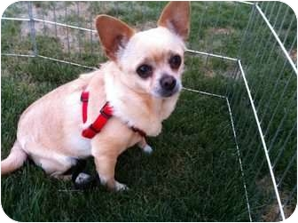 Chihuahua Mix Dog for adoption in Mesa, Arizona - Bullet