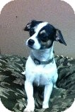 Pug/Chihuahua Mix Dog for adoption in Russellville, Kentucky - Stella