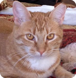 Domestic Shorthair Cat for adoption in Parker Ford, Pennsylvania - Cheyenne
