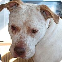 American Staffordshire Terrier/American Bulldog Mix Dog for adoption in Waupaca, Wisconsin - Lotti Dotty