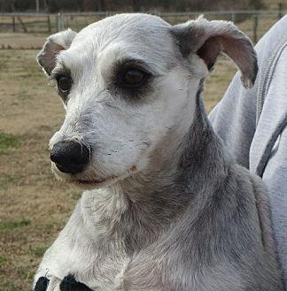 Schnauzer (Miniature) Dog for adoption in Westport, Connecticut - Pepper