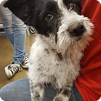 Australian Cattle Dog Mix Puppy for adoption in Fresno, California - Missy