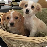 Adopt A Pet :: Ragedy Ann - Chino Hills - Chino Hills, CA