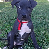 Adopt A Pet :: Koa - Las Vegas, NV