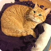 Domestic Shorthair Cat for adoption in Addison, Illinois - Ducky