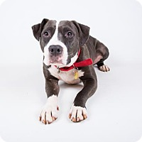 Pit Bull Terrier Mix Dog for adoption in Decatur, Georgia - Keegan