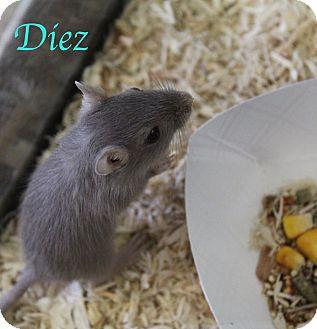 Gerbil for adoption in Bradenton, Florida - Diez