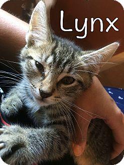 Domestic Shorthair Kitten for adoption in Trevose, Pennsylvania - Lynx