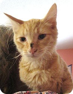 Domestic Mediumhair Kitten for adoption in Reeds Spring, Missouri - Butch