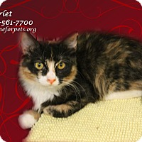Adopt A Pet :: A Young Female: SCARLET - Monrovia, CA