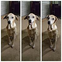 Labrador Retriever/Anatolian Shepherd Mix Dog for adoption in Pflugerville, Texas - Lady