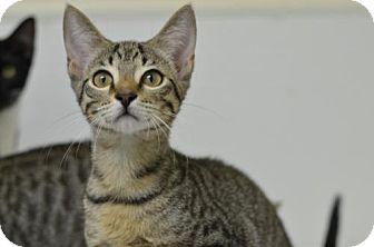Domestic Shorthair Kitten for adoption in Atlanta, Georgia - Arley 161062