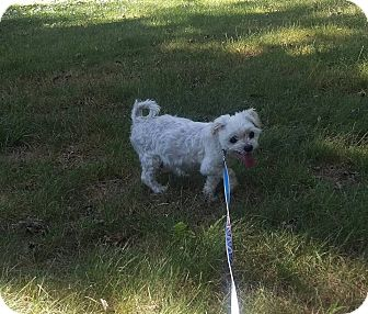 Maltese/Shih Tzu Mix Dog for adoption in Groton, Connecticut - Spike